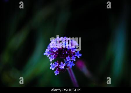 Close-up Of Purple Lantana Camara Blooming Outdoors - Stock Photo