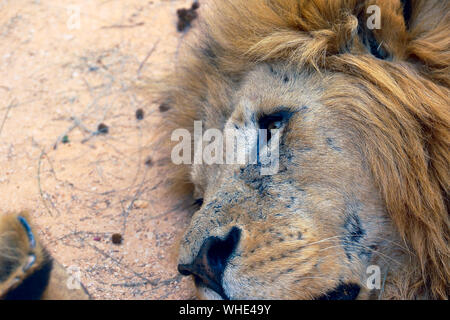 Close-up Of Lion On Field - Stock Photo
