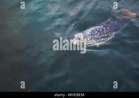 High Angle View Of Seal Swimming In Lake - Stock Photo