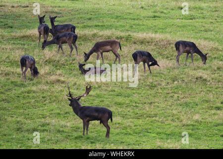 Fallow Deer Grazing On Grassy Field