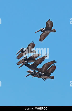 Peruvian Pelican (Pelecanus  thagus) adults in flight  Valparaiso, Chile                      January - Stock Photo