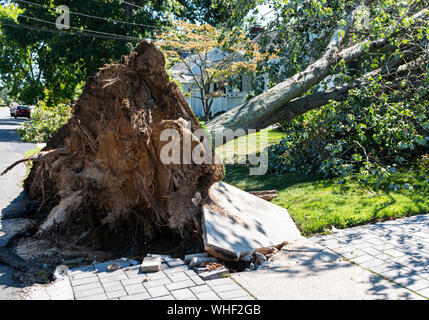 Aftermath of a large tree that has fallen during a thunderstorm and riped up the sidewalk and driveway. - Stock Photo