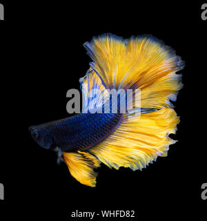 image of betta fish isolated on black background, action moving moment of Mustard Over Half Moon Betta, Siamese Fighting Fish - Stock Photo