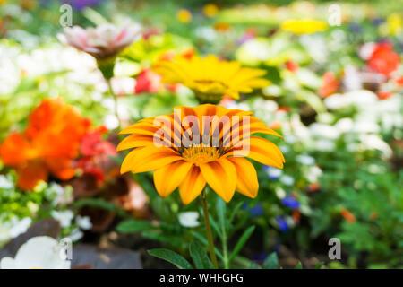 Close-up Of Orange Gazania Blooming Outdoors - Stock Photo