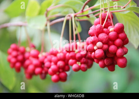 Branches of red schisandrahanging in row. Clusters of ripe schizandra. Crop of useful plant. Red schizandra hang in row on green branch. Schizandra ch - Stock Photo