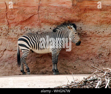 A Grant plains zebra stands in front of a red rock Equus quagga boehmi - Stock Photo