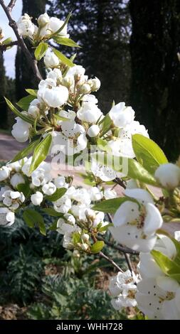 White Apple Blossoms In Spring - Stock Photo