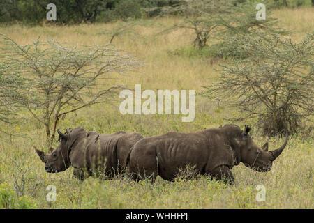 Southern White Rhino, Ceratotherium simum, Rhinocerotidae, Nakuru Lake National Park, Kenya, Africa - Stock Photo