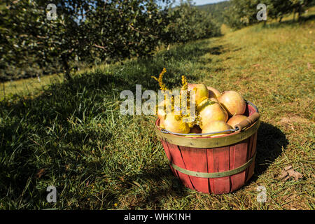 wide angle shot of fresh picked apples in basket in apple orchard - Stock Photo