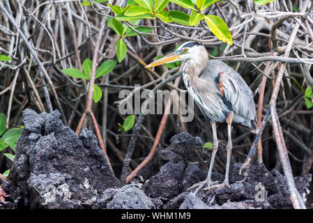 Close-up Of Great Blue Heron Perching On Rocks - Stock Photo
