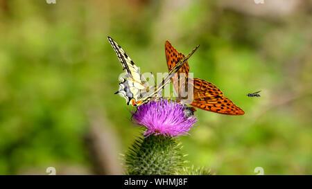 Butterflies On Purple Thistle - Stock Photo