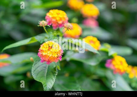 Close-Up of Clustered Lantana Camara Flowers. - Stock Photo