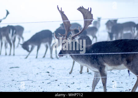 Stag By Fence On Snow Covered Field - Stock Photo