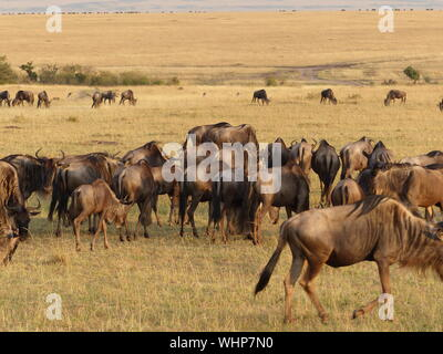 Wildebeests Grazing On Field - Stock Photo
