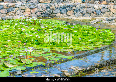 Lotus Water Lilies Growing In Pond At Park - Stock Photo
