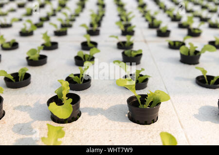 Hydroponics farm ,Young lettuce with organic hydroponic vegetable garden at greenhouse. - Stock Photo