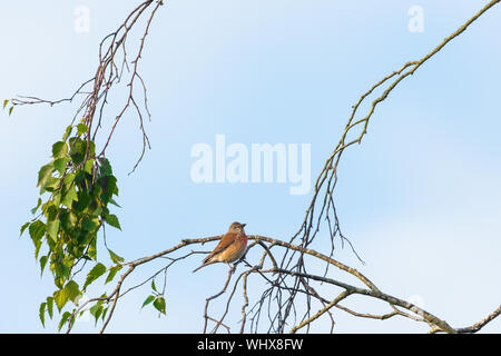 common linnet (linaria cannabina), framed by branches against a cloudy blue sky.