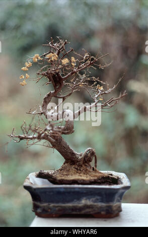 Dried Bonsai Tree On Table - Stock Photo