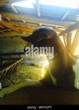Close-up Of Goat In Shed - Stock Photo