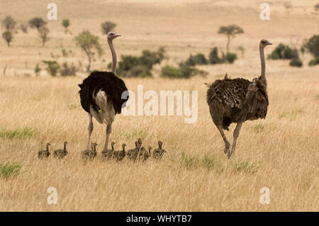 Family of Ostriches on Savanna - Stock Photo