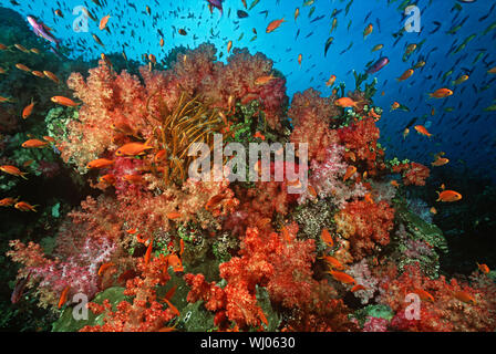School of sea goldies amongst soft coral reef - Stock Photo