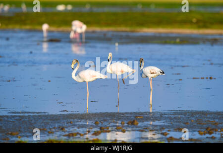 Nairobi, Kenya. 1st May, 2019. Flamingoes are seen at the Amboseli National Park, Kenya, May 1, 2019. On Sept. 3, 2019, the Beijing International Horticultural Exhibition holds 'Kenya Day' event in Beijing, capital of China. Credit: Li Yan/Xinhua/Alamy Live News - Stock Photo