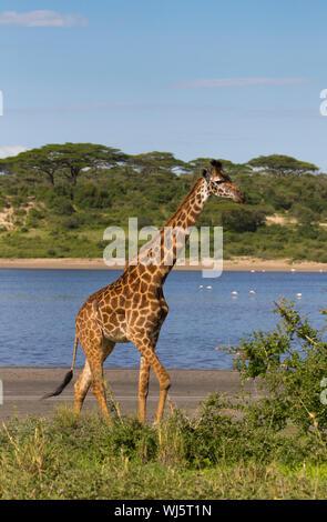 Masai giraffe (Giraffa camelopardalis tippelskirchii) Lake Ndutu, Ngorongoro Conservation Area, southern Serengeti, Tanzania. - Stock Photo