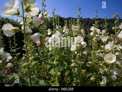 Common Hollyhock (Alcea rosea) in garden of Gilbert White, Selbourne, Hampshire, UK. July - Stock Photo