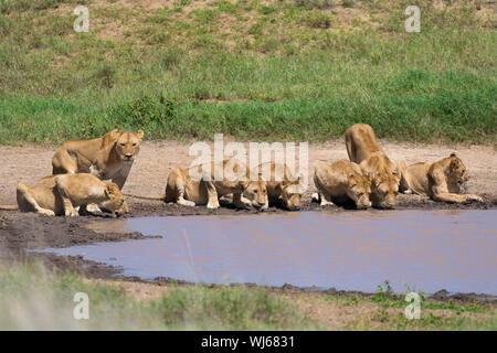 African Lion (Panthera leo) pride drinking at waterhole, Serengeti National Park, Tanzania. - Stock Photo
