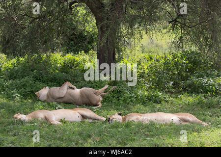 African Lion (Panthera leo) sleeping in the shade of a tree, Ndutu, Ngorongoro Conservation Area, southern Serengeti, Tanzania. - Stock Photo