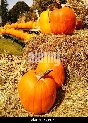 Rows Of Pumpkins On Hay Bales - Stock Photo