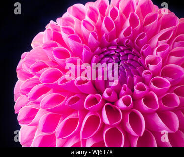 Close up of a vivid pink ball dahlia on a dark background. - Stock Photo