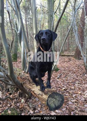 Close-up Of Black Labrador Retriever Sitting On Log At Forest - Stock Photo