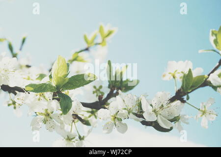 Low Angle View Of White Plum Blossoms Blooming On Branch Against Sky - Stock Photo
