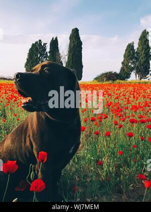 Dog Looking Away Amidst Red Poppy Flowers Blooming On Field - Stock Photo