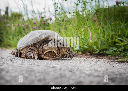 Snapping turtle on a road near a ditch line. - Stock Photo