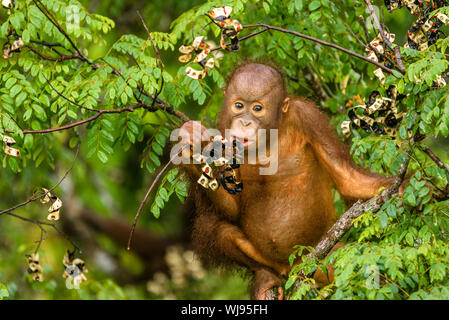 Orangutan Eating Fruits While Sitting On Branch - Stock Photo