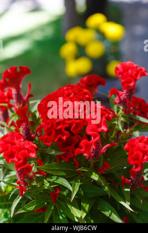 Tropical red flower of celosia. Cockscomb. Asian flower of celosia - Stock Photo