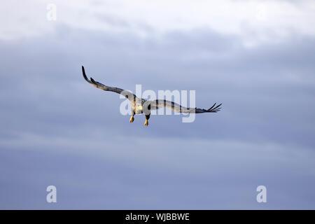 White-tailed Eagle, Haliaeetus albicilla, flying - Stock Photo