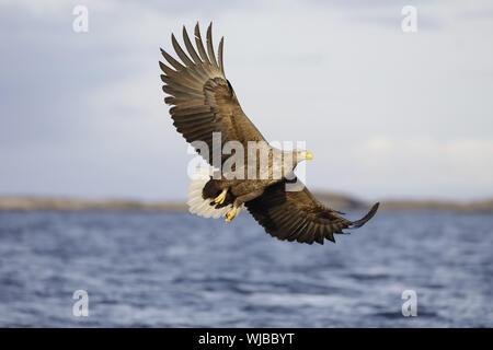 White-tailed Eagle, Haliaeetus albicilla, flying close to sea Stock Photo