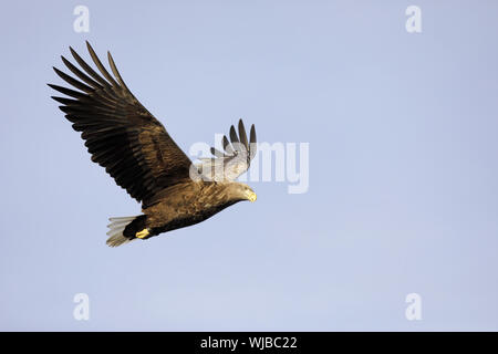 White-tailed Eagle, Haliaeetus albicilla, in flight - Stock Photo