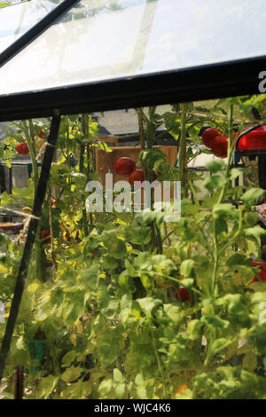 Tomato plants force their way through the roof vent of a greenhouse in an English country garden - Stock Photo