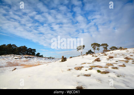 pine trees on dune covered with snow, Gelderland, Netherlands - Stock Photo
