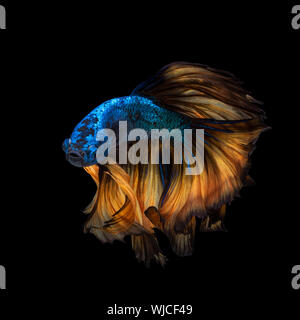 Betta fish or Siamese fighting fish in movement isolated on black background - Stock Photo