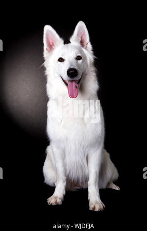 Portrait Of White Shepherd Sticking Out Tongue Against Black Background - Stock Photo