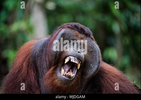 Pongo pygmaeus wurmbii - southwest populations. The orangutans are the only exclusively Asian living genus of great ape. They are among the most intel - Stock Photo