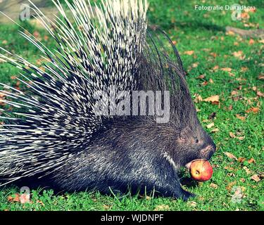 Close-up Of Porcupine Eating Apple On Field - Stock Photo
