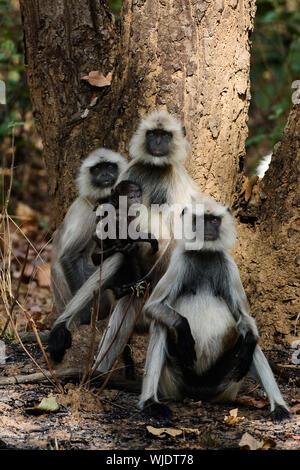 The family photo Hanuman Langurs - Stock Photo