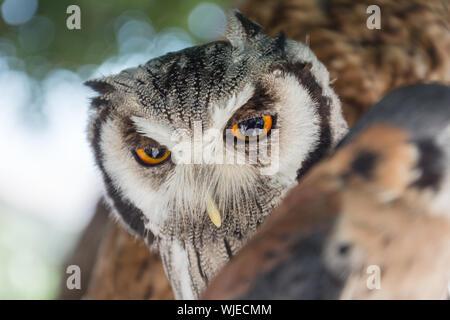Close-up Of Eurasian Eagle Owl - Stock Photo
