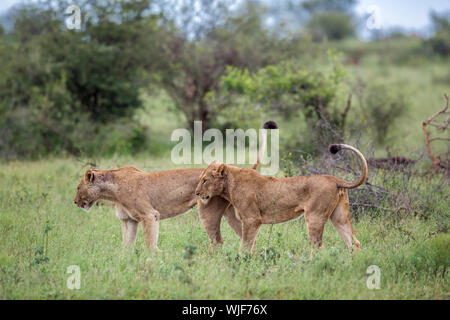 Two African lioness  tail up in green bush in Kruger National park, South Africa ; Specie Panthera leo family of Felidae - Stock Photo
